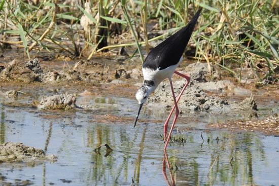 Birdwatching в Армении: водно-болотная фауна